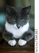 Купить «Серая кошка», эксклюзивное фото № 544861, снято 24 июня 2006 г. (c) Сайганов Александр / Фотобанк Лори