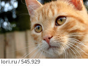 Купить «Рыжий», фото № 545929, снято 29 сентября 2007 г. (c) Татьяна Хавренкова / Фотобанк Лори