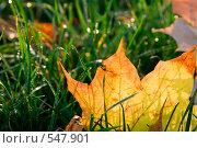 Желтый осенний лист клена на зеленой траве. Стоковое фото, фотограф Евгений Жминько / Фотобанк Лори