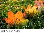 Желтые осенний листья клена на зеленой траве. Стоковое фото, фотограф Евгений Жминько / Фотобанк Лори