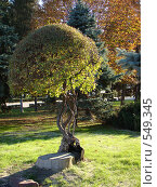 Дерево в парке. Стоковое фото, фотограф Алла Кригер / Фотобанк Лори