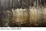 Купить «Карелия. Берег, поросший лесом, и заросли сухого тростника в ярких лучах весеннего солнца.», фото № 550493, снято 1 мая 2008 г. (c) Max Toporsky / Фотобанк Лори