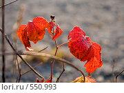 Осенние красные листья ежевики. Стоковое фото, фотограф Евгений Жминько / Фотобанк Лори