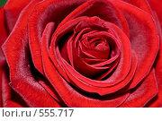 Купить «Красная роза крупным планом», фото № 555717, снято 17 сентября 2008 г. (c) Евгений Дробжев / Фотобанк Лори