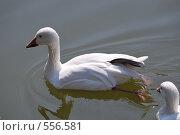 Купить «Лебеди на пруду», фото № 556581, снято 6 сентября 2008 г. (c) Kate Kovalenko / Фотобанк Лори