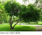 Двуглавое дерево. Стоковое фото, фотограф Андрей Сверкунов / Фотобанк Лори