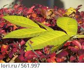 Купить «Желтый лист на красном», фото № 561997, снято 8 октября 2008 г. (c) Александр Михалёв / Фотобанк Лори