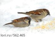 Купить «Воробьи на снегу», фото № 562465, снято 22 января 2007 г. (c) Юлия Подгорная / Фотобанк Лори