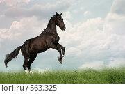 Купить «Лошадь вороной масти встала на дыбы в поле», фото № 563325, снято 10 августа 2008 г. (c) Титаренко Елена / Фотобанк Лори