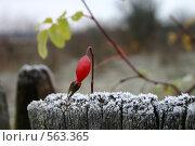 Купить «Первые заморозки», фото № 563365, снято 31 октября 2004 г. (c) Gagara / Фотобанк Лори