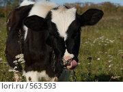 Купить «Облизывающийся теленок», фото № 563593, снято 25 сентября 2008 г. (c) Светлана Щекина / Фотобанк Лори
