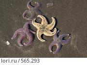 Купить «Созвездие морских звёзд на чёрном тихоокеанском песке», фото № 565293, снято 12 мая 2008 г. (c) Анатолий Никитин / Фотобанк Лори