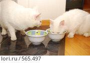 Купить «Две белые кошки едят из мисок», фото № 565497, снято 16 ноября 2008 г. (c) Даша Богословская / Фотобанк Лори