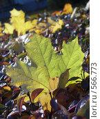 Купить «Зеленый и желтый листья клена», фото № 566773, снято 8 октября 2008 г. (c) Александр Михалёв / Фотобанк Лори