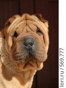 Купить «Породистая собака - шарпей», эксклюзивное фото № 569777, снято 27 марта 2005 г. (c) Дмитрий Неумоин / Фотобанк Лори