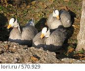 Горные гуси (Anser indicus) пригрелись в осенних лучах. Стоковое фото, фотограф Ирина Китаева / Фотобанк Лори