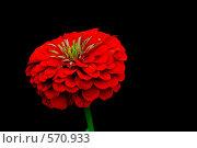 Цветок циннии на черном фоне. Стоковое фото, фотограф vlntn / Фотобанк Лори