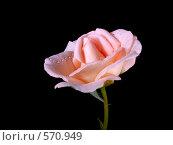 Нежная роза на черном фоне. Стоковое фото, фотограф vlntn / Фотобанк Лори