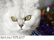 Купить «Взгляд серьезного кота», фото № 575617, снято 23 октября 2008 г. (c) Андрей Бурдюков / Фотобанк Лори
