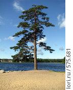Купить «Сосна на берегу озера», фото № 575681, снято 1 августа 2008 г. (c) Алексей Алексеев / Фотобанк Лори