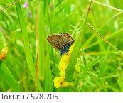 Бабочка (Lycaenidae) Стоковое фото, фотограф FieryLion / Фотобанк Лори