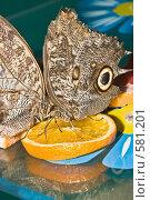 Купить «Тропические бабочки отряда Caligo (Калиго) кормятся на дольках апельсина», фото № 581201, снято 28 октября 2008 г. (c) Эдуард Межерицкий / Фотобанк Лори