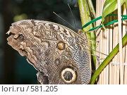 Купить «Тропическая бабочка отряда Caligo (Калиго), сидящая на листе», фото № 581205, снято 28 октября 2008 г. (c) Эдуард Межерицкий / Фотобанк Лори
