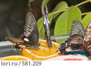 """Купить «Тропические бабочки семейства Papilio lowi (""""Ласточкин хвост"""") и отряда Caligo (Калиго) кормятся на дольках апельсина», фото № 581209, снято 28 октября 2008 г. (c) Эдуард Межерицкий / Фотобанк Лори"""