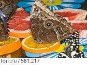 Купить «Тропические бабочки отряда Caligo (Калиго) кормятся на дольках апельсина», фото № 581217, снято 28 октября 2008 г. (c) Эдуард Межерицкий / Фотобанк Лори