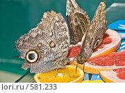 Купить «Тропические бабочки отряда Caligo (Калиго) кормятся на дольках апельсина», фото № 581233, снято 28 октября 2008 г. (c) Эдуард Межерицкий / Фотобанк Лори