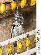 Купить «Тропическая бабочка, вышедшая из куколки», фото № 581245, снято 28 октября 2008 г. (c) Эдуард Межерицкий / Фотобанк Лори