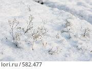 Купить «Осенние цветы под снегом», фото № 582477, снято 21 ноября 2008 г. (c) Ольга Хорькова / Фотобанк Лори