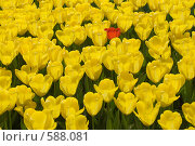 Красный тюльпан среди жёлтых. Стоковое фото, фотограф Андрей Солодовников / Фотобанк Лори
