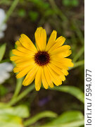 Купить «Желтый цветок», фото № 594077, снято 16 августа 2008 г. (c) Абрамов Антон / Фотобанк Лори