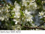 Яблоня в цвету. Стоковое фото, фотограф Евгений Скачков / Фотобанк Лори