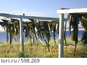 Купить «Морская капуста (ламинария сахаристая, Laminaria saccharina ) сушится на берегу (Белое море)», эксклюзивное фото № 598269, снято 18 июля 2006 г. (c) Наталия Шевченко / Фотобанк Лори