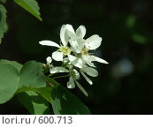 Купить «Цветение весной ирги», фото № 600713, снято 19 мая 2005 г. (c) Сергей Бехтерев / Фотобанк Лори