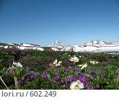 Купить «Камчатка, цветы и снег», фото № 602249, снято 20 июля 2007 г. (c) Легкобыт Николай / Фотобанк Лори