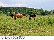 Купить «Лошади в поле», эксклюзивное фото № 602933, снято 3 июля 2008 г. (c) Яна Королёва / Фотобанк Лори