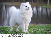 Самоедская собака - Юный Чемпион России, фото № 606253, снято 8 ноября 2008 г. (c) Абрамова Ксения / Фотобанк Лори