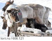 Северные олени. Стоковое фото, фотограф Александр Николаев / Фотобанк Лори