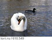 Купить «Лебедь и утка», фото № 610549, снято 15 марта 2008 г. (c) Lina Kurbanovsky / Фотобанк Лори