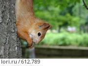 Купить «Белка на дереве вниз головой», фото № 612789, снято 17 июля 2005 г. (c) Елена Ликина / Фотобанк Лори