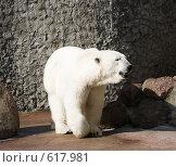 Белый медведь. Стоковое фото, фотограф Алексей Хабазов / Фотобанк Лори