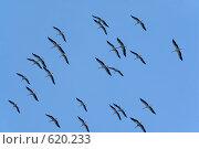 Купить «Летящие журавли», фото № 620233, снято 19 августа 2018 г. (c) Шутов Игорь / Фотобанк Лори