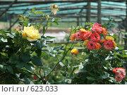 Оранжерея роз. Стоковое фото, фотограф Стародубов Юрий / Фотобанк Лори