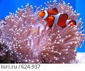 Купить «Рыба-клоун в морском аквариуме», фото № 624937, снято 23 февраля 2007 г. (c) Олеся Ефименко / Фотобанк Лори