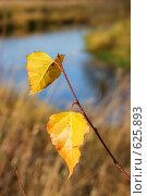 Купить «Пожелтевшие листья берёзы крупным планом», фото № 625893, снято 5 октября 2008 г. (c) Сергей Пестерев / Фотобанк Лори