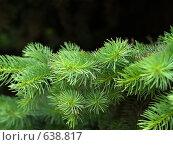 Купить «Ветви ели», эксклюзивное фото № 638817, снято 25 мая 2008 г. (c) Сергей Ганоцкий / Фотобанк Лори