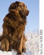 Купить «Коричневый ньюфаундленд», фото № 639589, снято 3 января 2009 г. (c) Игорь Момот / Фотобанк Лори